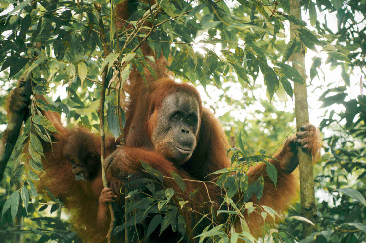 Orangutani se příkladně starají o své děti