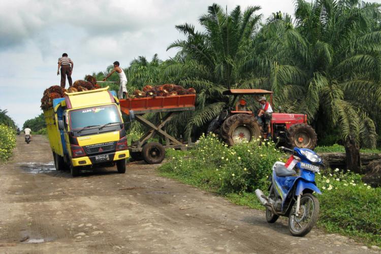 Sklizeň plodů palmy olejné